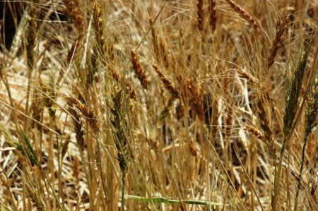 "Agriculture Canada received two permits for ""experimental field trials"" of genetically modified wheat in 2012, but department records indicate that Canada geese may have spread GM seed from the field trials to other locations. [Photo: agrilifetoday]"