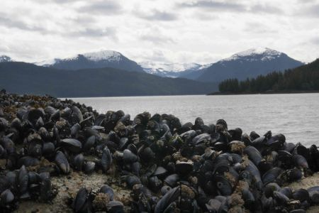 A wall of mussels in Hartley Bay, British Columbia. PHOTO: ERIN EMPEY